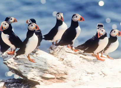 Bay Bulls Puffin and Whale Watch Tour