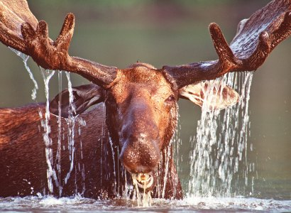 Matane Wildlife Preserve Moose Viewing